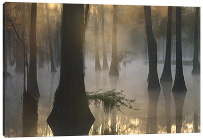 Bald Cypress Grove In Freshwater Swamp At Dawn, Lake Fausse Pointe, Louisiana II Canvas Art Print
