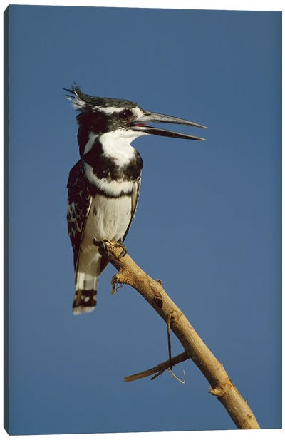Pied Kingfisher Calling, Kenya Canvas Art Print