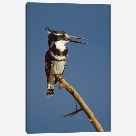 Pied Kingfisher Calling, Kenya Canvas Print #TFI790} by Tim Fitzharris Canvas Artwork