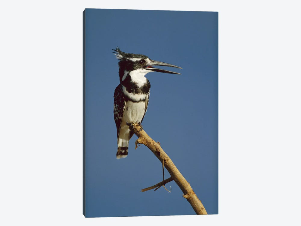 Pied Kingfisher Calling, Kenya by Tim Fitzharris 1-piece Canvas Art