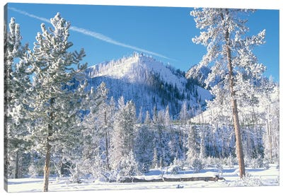 Pine Trees Covered With Snow In Winter, Yellowstone National Park, Wyoming Canvas Art Print