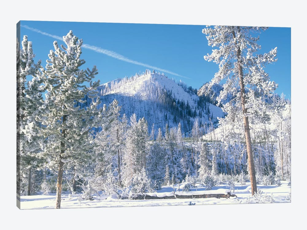 Pine Trees Covered With Snow In Winter, Yellowstone National Park, Wyoming by Tim Fitzharris 1-piece Canvas Print