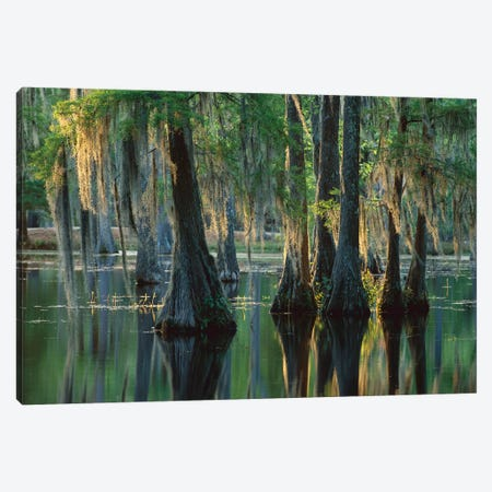 Bald Cypress Swamp, Sam Houston Jones State Park, Louisiana Canvas Print #TFI79} by Tim Fitzharris Canvas Print