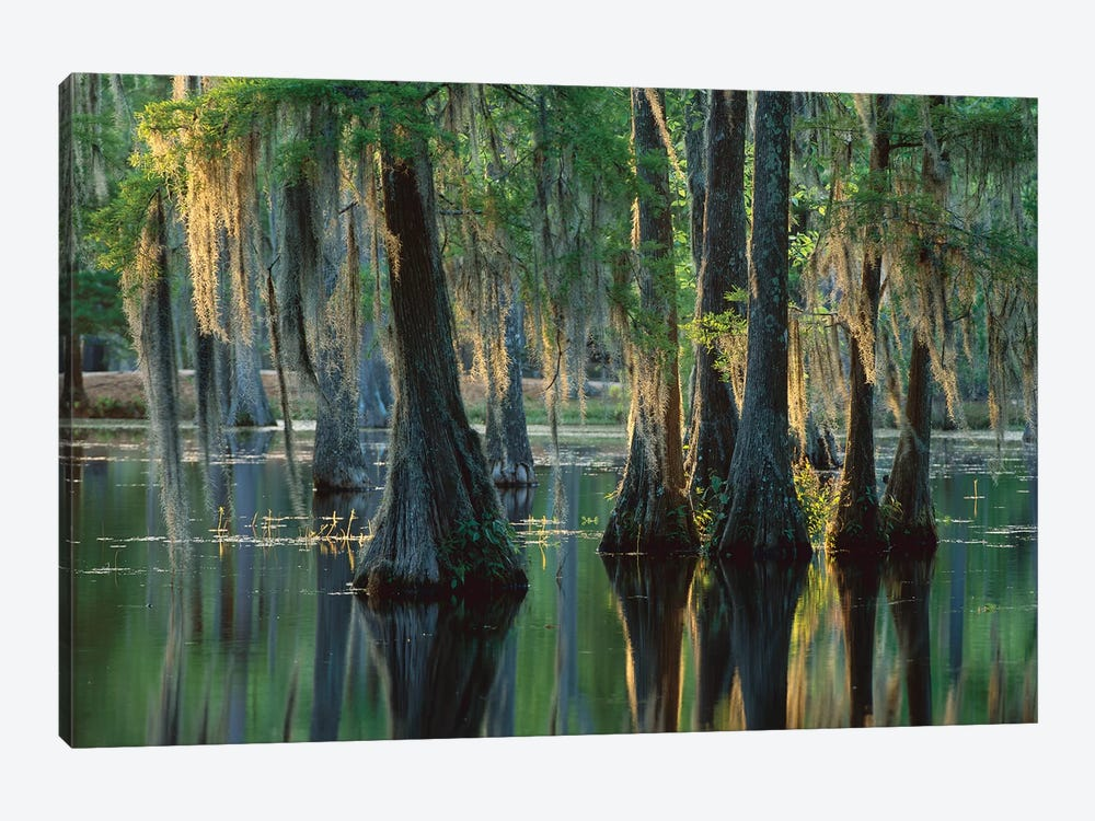 Bald Cypress Swamp, Sam Houston Jones State Park, Louisiana by Tim Fitzharris 1-piece Canvas Artwork