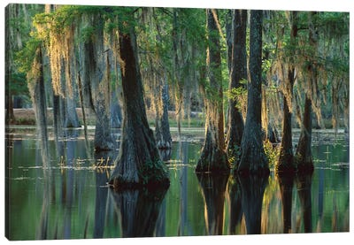 Bald Cypress Swamp, Sam Houston Jones State Park, Louisiana Canvas Art Print