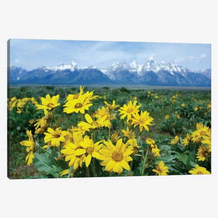 Balsamroot Sunflower Patch, Grand Teton National Park, Wyoming Canvas Print #TFI80} by Tim Fitzharris Canvas Art