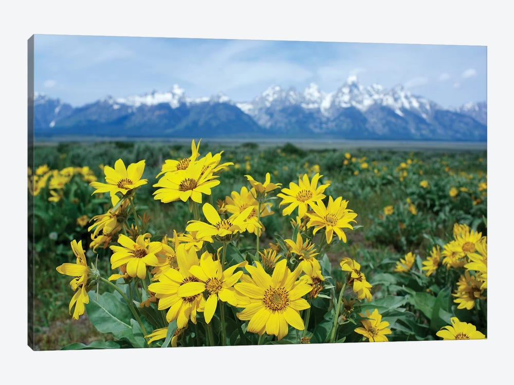 Balsamroot Sunflower Patch, Grand Teton National Park, Wyoming by Tim Fitzharris 1-piece Canvas Wall Art