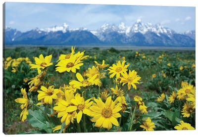 Balsamroot Sunflower Patch, Grand Teton National Park, Wyoming Canvas Art Print