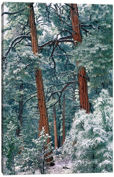 Ponderosa Pine Forest After Fresh Snowfall, Rocky Mountain National Park, Colorado Canvas Art Print
