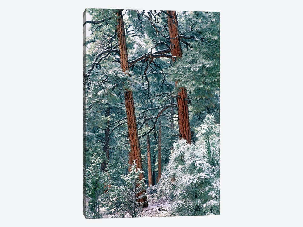 Ponderosa Pine Forest After Fresh Snowfall, Rocky Mountain National Park, Colorado by Tim Fitzharris 1-piece Canvas Wall Art