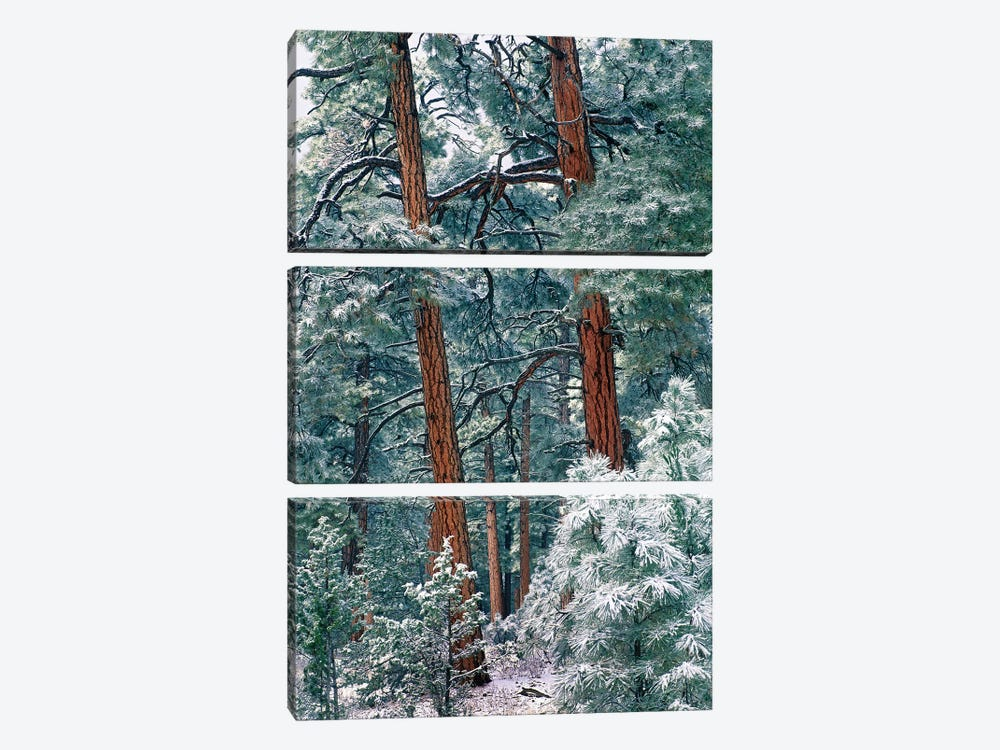 Ponderosa Pine Forest After Fresh Snowfall, Rocky Mountain National Park, Colorado by Tim Fitzharris 3-piece Canvas Art
