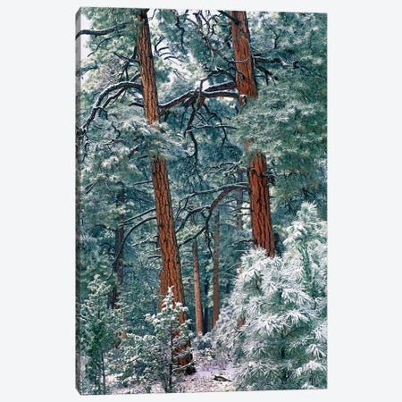 Ponderosa Pine Forest After Fresh Snowfall, Rocky Mountain National Park, Colorado Canvas Print #TFI810} by Tim Fitzharris Canvas Print