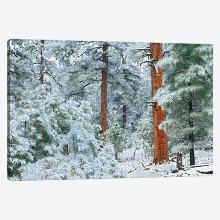 Ponderosa Pine Trees With Snow, Grand Canyon National Park, Arizona I Canvas Print #TFI811} by Tim Fitzharris Art Print