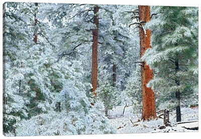 Ponderosa Pine Trees With Snow, Grand Canyon National Park, Arizona I Canvas Art Print