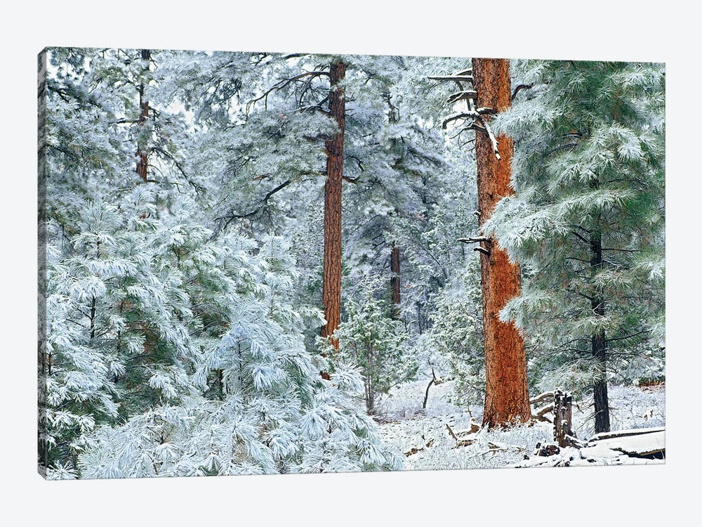 Ponderosa Pine Trees With Snow, Grand Canyon National Park, Arizona I by Tim Fitzharris 1-piece Canvas Print