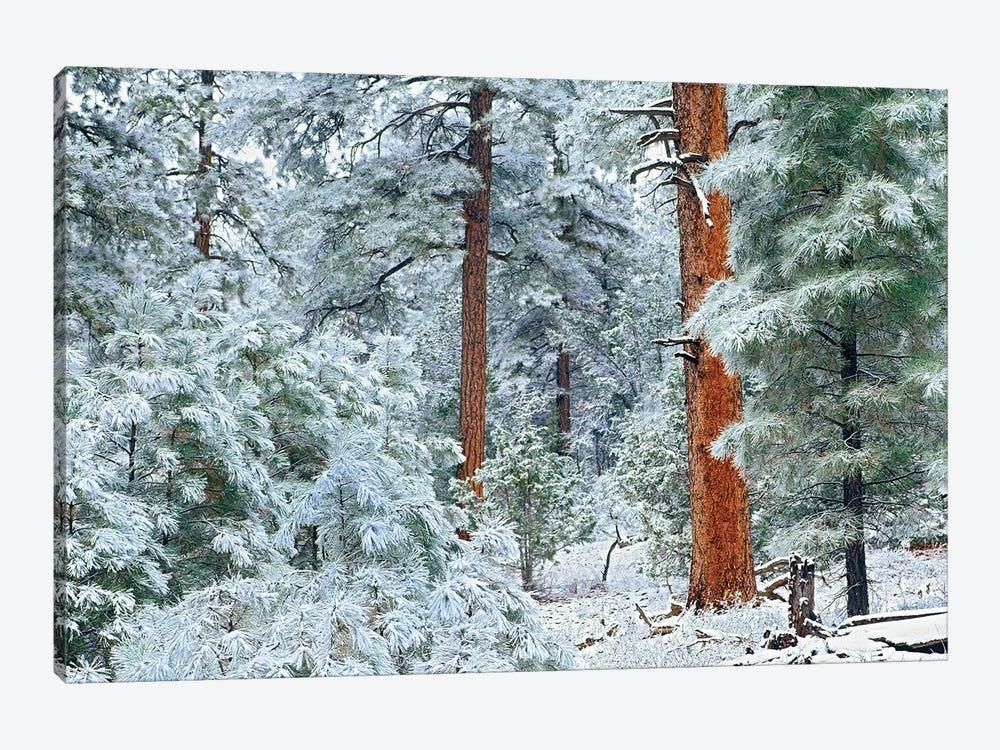 Ponderosa Pine Trees With Snow, Grand Canyon National Park, Arizona I by Tim Fitzharris 1-piece Canvas Print