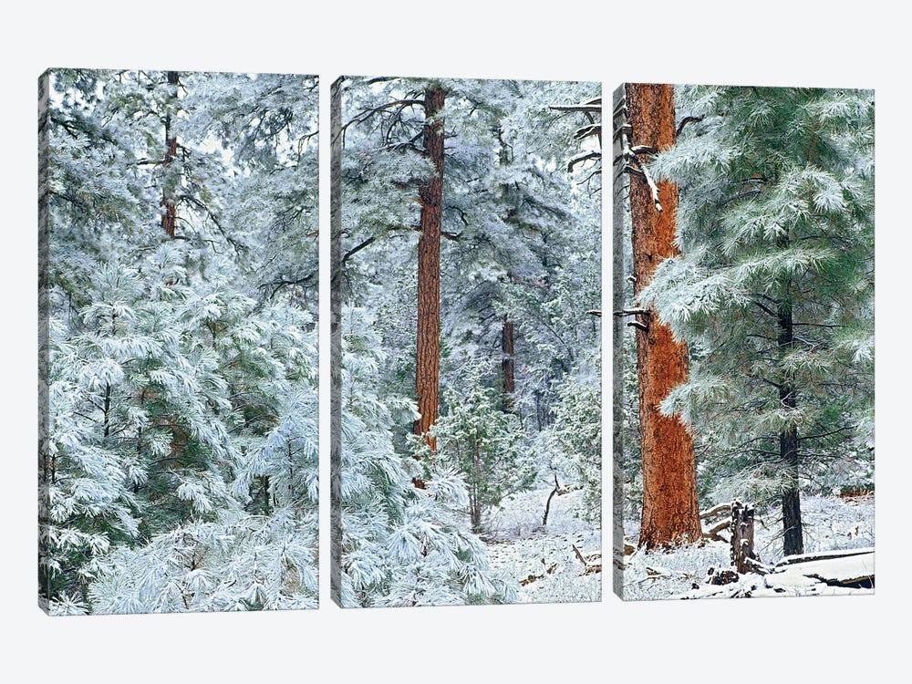 Ponderosa Pine Trees With Snow, Grand Canyon National Park, Arizona I by Tim Fitzharris 3-piece Art Print
