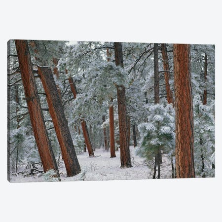 Ponderosa Pine Trees With Snow, Grand Canyon National Park, Arizona II Canvas Print #TFI813} by Tim Fitzharris Art Print