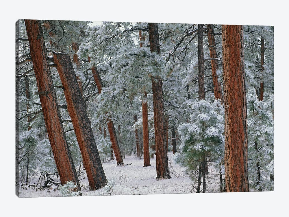 Ponderosa Pine Trees With Snow, Grand Canyon National Park, Arizona II by Tim Fitzharris 1-piece Canvas Art Print