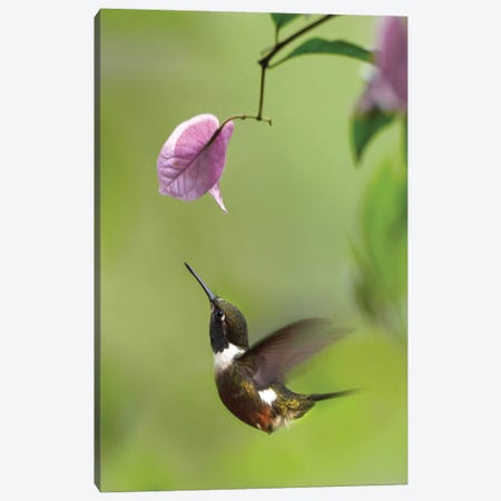 Purple-Throated Woodstar Hummingbird Hovering Near Bougainveillea Flower, Ecuador Canvas Print #TFI819} by Tim Fitzharris Canvas Art Print