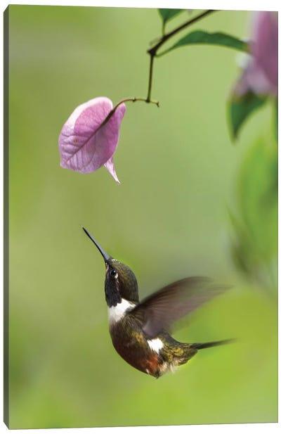 Purple-Throated Woodstar Hummingbird Hovering Near Bougainveillea Flower, Ecuador Canvas Art Print
