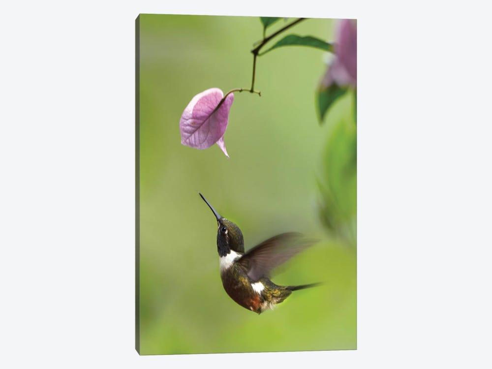 Purple-Throated Woodstar Hummingbird Hovering Near Bougainveillea Flower, Ecuador by Tim Fitzharris 1-piece Art Print