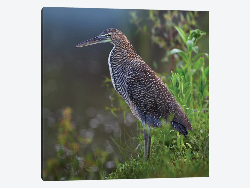 Bare-Throated Tiger Heron Portrait, Costa Rica by Tim Fitzharris 1-piece Art Print