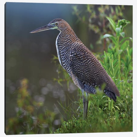 Bare-Throated Tiger Heron Portrait, Costa Rica Canvas Print #TFI81} by Tim Fitzharris Canvas Artwork