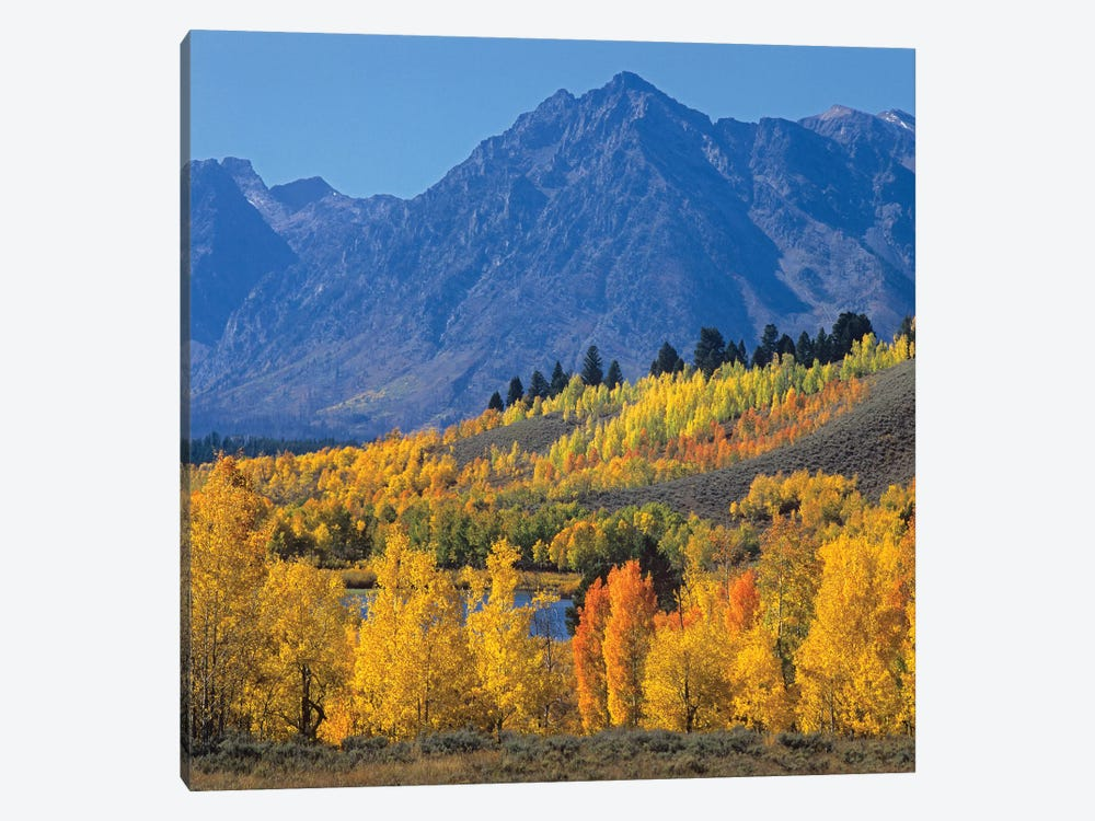 Quaking Aspen Forest In Autumn And Ranger Peak, Grand Teton National Park, Wyoming by Tim Fitzharris 1-piece Art Print