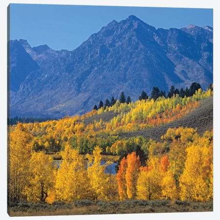 Quaking Aspen Forest In Autumn And Ranger Peak, Grand Teton National Park, Wyoming 3-Piece Canvas #TFI826} by Tim Fitzharris Canvas Art Print