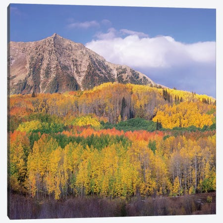 Quaking Aspen Forest In Autumn, Marcellina Mountain, Raggeds Wilderness, Colorado Canvas Print #TFI827} by Tim Fitzharris Art Print