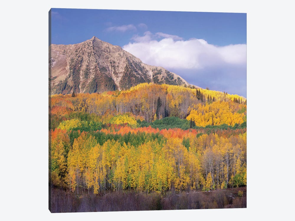 Quaking Aspen Forest In Autumn, Marcellina Mountain, Raggeds Wilderness, Colorado by Tim Fitzharris 1-piece Canvas Art