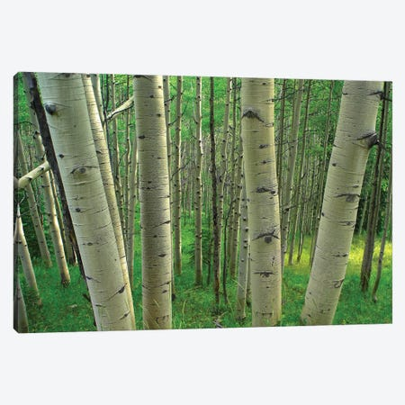 Quaking Aspen Forest In Spring, Gunnison National Forest, Colorado Canvas Print #TFI829} by Tim Fitzharris Canvas Art