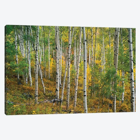 Quaking Aspen Forest, Colorado I Canvas Print #TFI830} by Tim Fitzharris Canvas Art Print