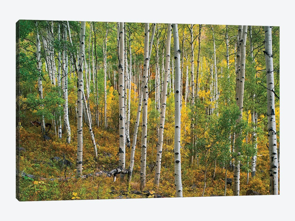 Quaking Aspen Forest, Colorado I by Tim Fitzharris 1-piece Canvas Wall Art