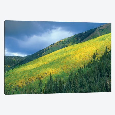 Quaking Aspen Forest, Maroon Bells, Snowmass Wilderness, Colorado Canvas Print #TFI831} by Tim Fitzharris Canvas Art Print