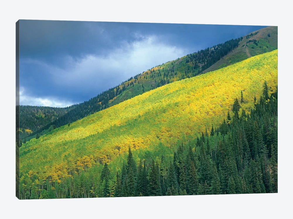 Quaking Aspen Forest, Maroon Bells, Snowmass Wilderness, Colorado by Tim Fitzharris 1-piece Canvas Print