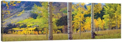 Quaking Aspen Grove In Autumn, Colorado Canvas Art Print