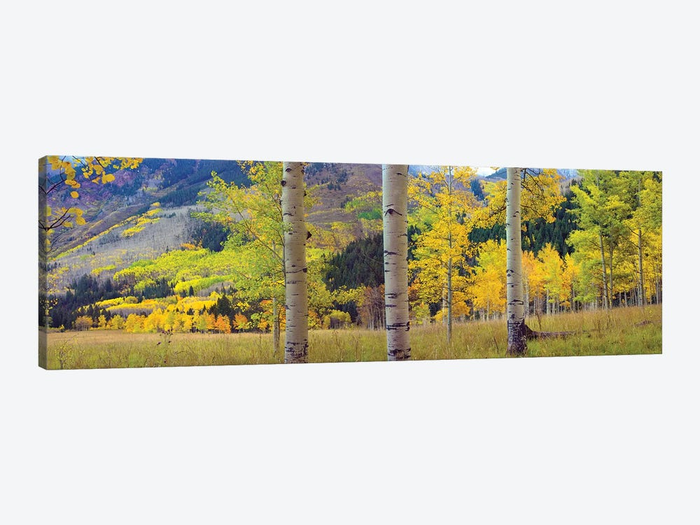 Quaking Aspen Grove In Autumn, Colorado by Tim Fitzharris 1-piece Canvas Artwork