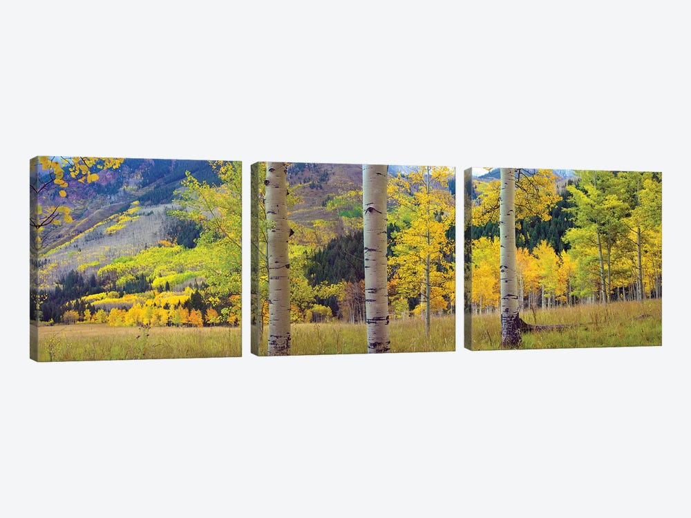 Quaking Aspen Grove In Autumn, Colorado 3-piece Canvas Art