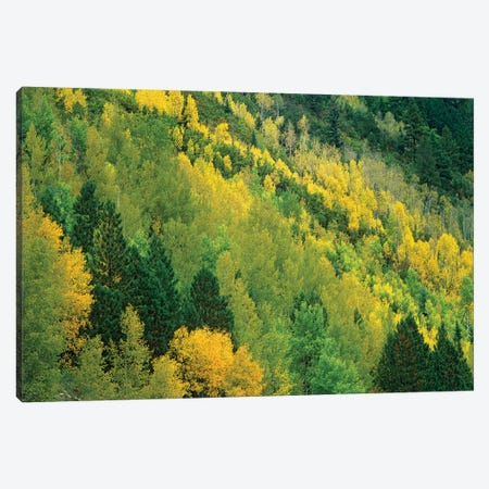 Quaking Aspen Grove In Fall Colors, Gunnison National Forest, Colorado Canvas Print #TFI833} by Tim Fitzharris Art Print