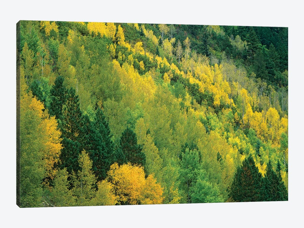 Quaking Aspen Grove In Fall Colors, Gunnison National Forest, Colorado by Tim Fitzharris 1-piece Art Print