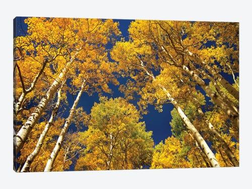 Quaking Aspen Grove In Fall Colors Maroon Be Tim Fitzharris Icanvas