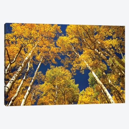 Quaking Aspen Grove In Fall Colors, Maroon Bells, Snowmass Wilderness, Colorado I Canvas Print #TFI834} by Tim Fitzharris Canvas Wall Art