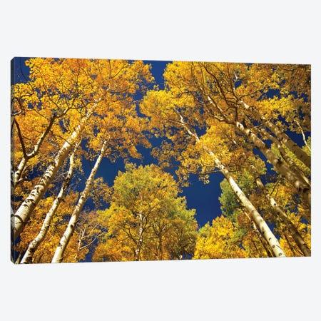 Quaking Aspen Grove In Fall Colors, Maroon Bells, Snowmass Wilderness, Colorado I Canvas Print #TFI834} by Tim Fitzharris Canvas Wall Art