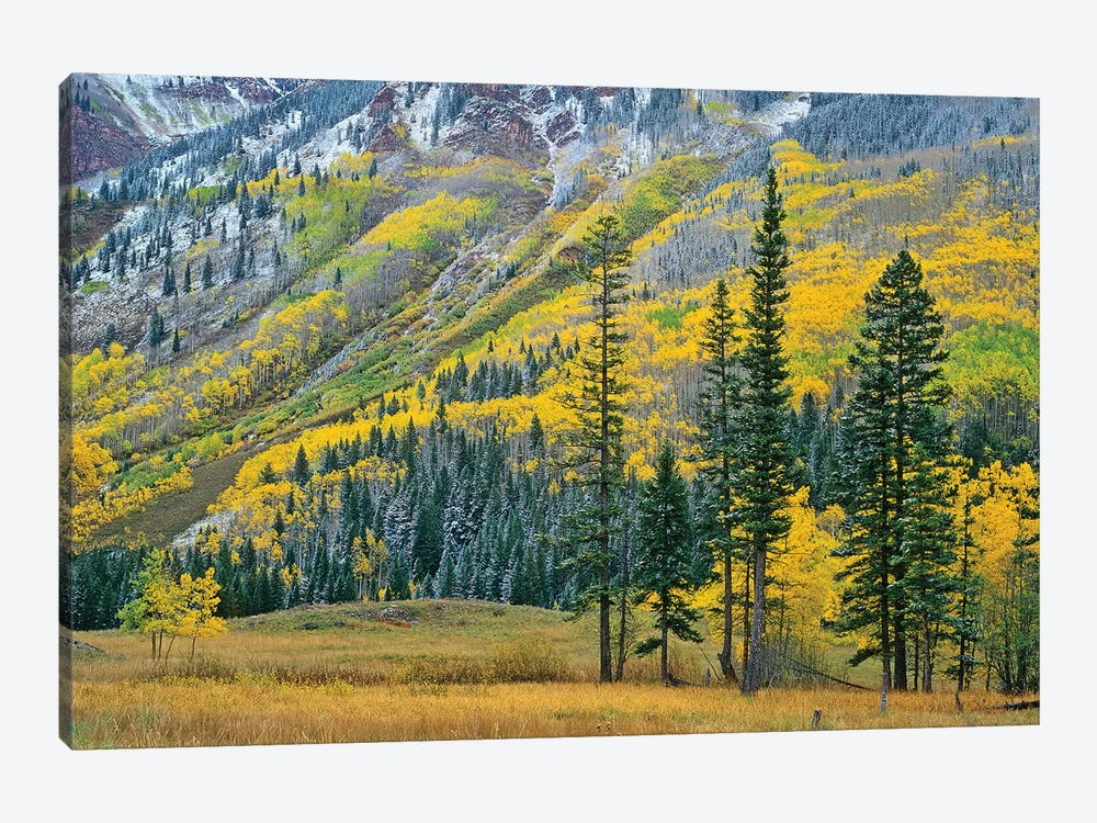 Quaking Aspen Grove In Fall Colors, Maroon Bells, Snowmass Wilderness, Colorado II by Tim Fitzharris 1-piece Canvas Print