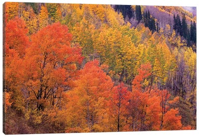 Quaking Aspen Grove In Fall Colors, Washington Gulch, Gunnison National Forest, Colorado Canvas Art Print