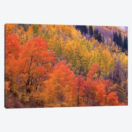 Quaking Aspen Grove In Fall Colors, Washington Gulch, Gunnison National Forest, Colorado Canvas Print #TFI836} by Tim Fitzharris Canvas Artwork