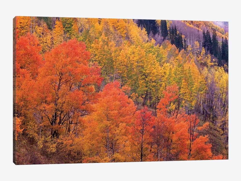 Quaking Aspen Grove In Fall Colors, Washington Gulch, Gunnison National Forest, Colorado by Tim Fitzharris 1-piece Canvas Wall Art