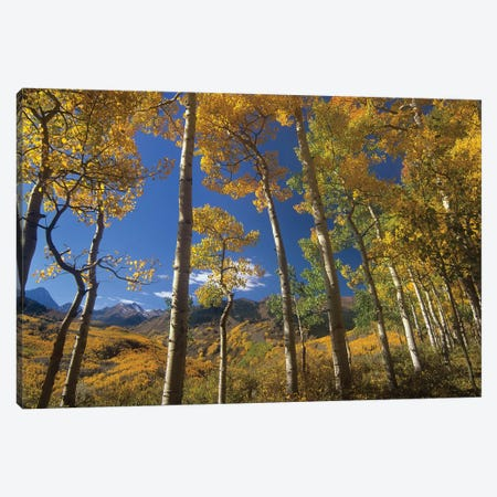 Quaking Aspen In Fall Colors And Maroon Bells, Elk Mountains, Snowmass Wilderness, Colorado Canvas Print #TFI838} by Tim Fitzharris Canvas Print
